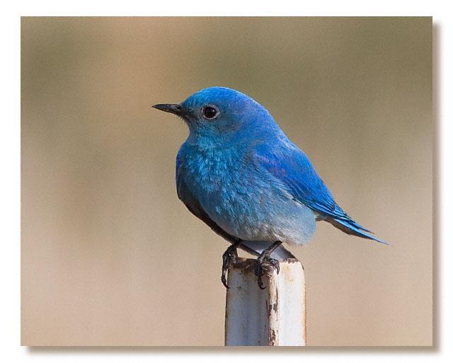 http://www.imagesofcolorado.com/apix/bluebird20acr2.jpg